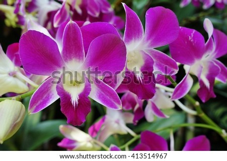 pink and white dendrobium orchid flower