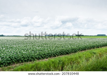 Pink and white flowering potato plants side by side in one field in the late spring season. - stock photo