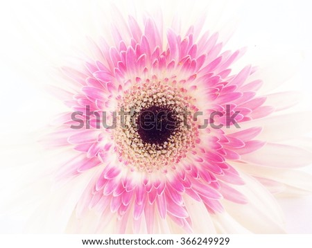 Pink white gerbera flower isolated on stock photo edit now pink and white gerbera flower isolated on a white background mightylinksfo