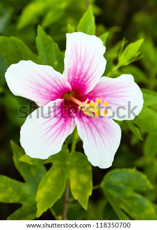 Pink and white hibiscus flower in garden - stock photo