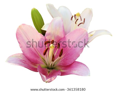 Pink and white lilies isolated on white
