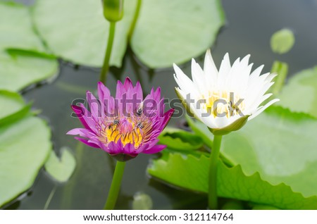Pink and white lotus float on the river garden. - stock photo