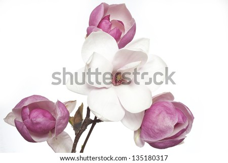 pink and white magnolia flowers, magnolia flower