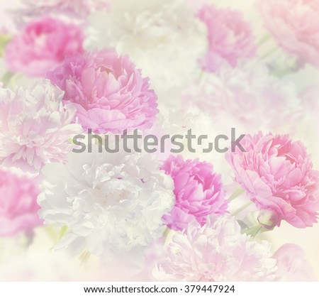 Pink and White Peony Flowers for Background - stock photo