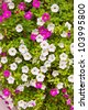Pink and white petunia trailing flower in full bloom - stock photo