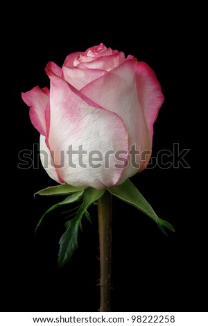 pink and white rose bud on black - stock photo
