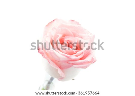 pink and white rose on white background