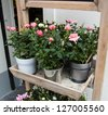 Pink and white roses in a pots in the entry to flower shop. - stock photo