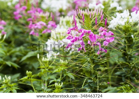 Pink And White Spider flower(Cleome hassleriana) for background  - stock photo