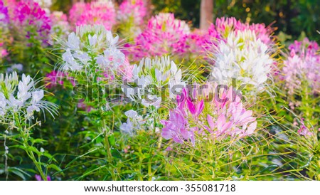 Pink And White Spider flower(Cleome hassleriana) in the garden for background use - stock photo
