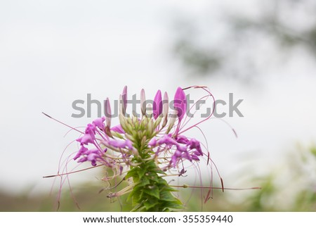 Pink And White Spider flower(Cleome hassleriana) in the garden for background use. - stock photo