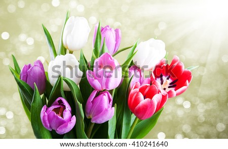Pink and white tulips flowers - close up - stock photo