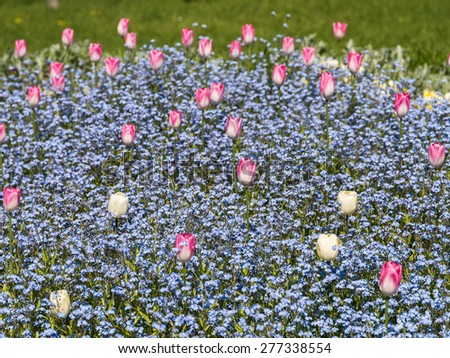 Pink And White Tulips Garden In Spring - stock photo