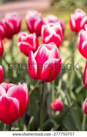 Pink and white tulips in the Keukenhof park in Netherlands