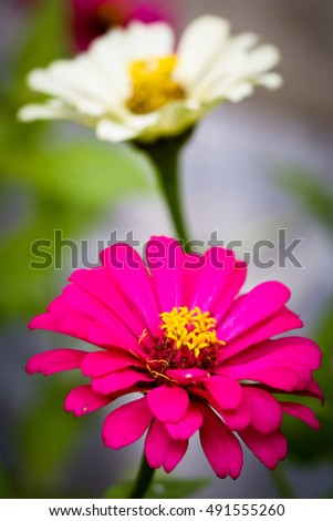 Pink and white zinnias