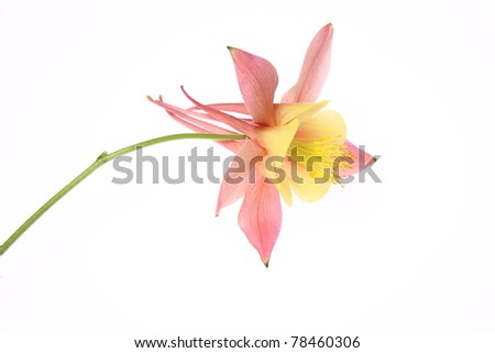 Pink and yellow Columbine flower on white background - stock photo