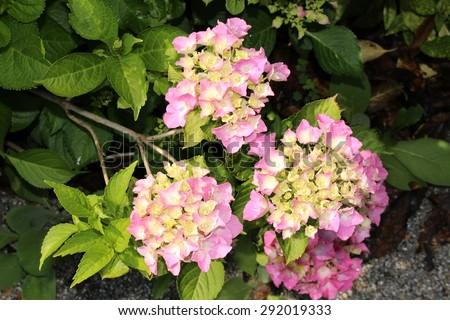 Pink yellow french hydrangea flowers or stock photo image royalty pink and yellow french hydrangea flowers or bigleaf hydrangea lacecap hydrangea mightylinksfo