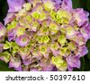 Pink and yellow hydrangeas with green leaves surrounding the flowers - stock photo