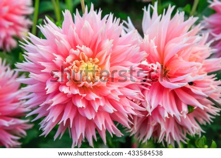 Pink and Yellow orange Early fall dahlia flowers in Tacoma, Point Defiance. - stock photo