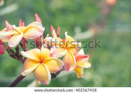 Pink and yellow plumeria on the plumeria tree, frangipani tropical flowers.