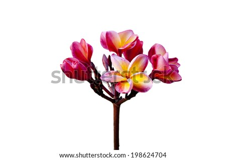 Pink and yellow Plumeria spp. (frangipani flowers, Frangipani, Pagoda tree or Temple tree)  - stock photo