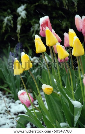 Pink and yellow tulip under snow - stock photo