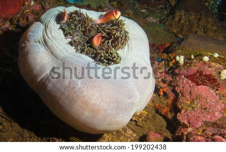 Pink Anemone Fish in a Closed Anemone - stock photo