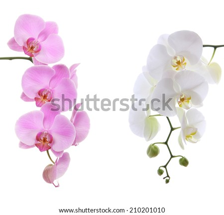 Pink ans white delicate orchid isolated on white background - stock photo