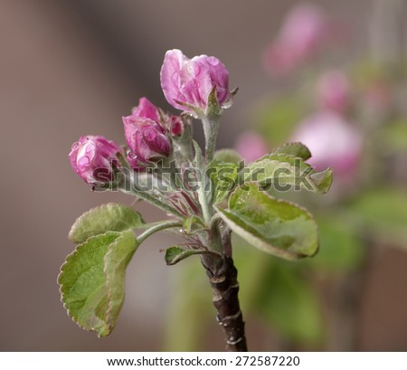 Pink Apple Blossom