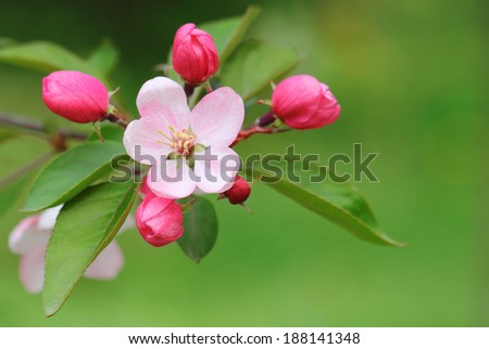Pink apple blossoms closeup over green background