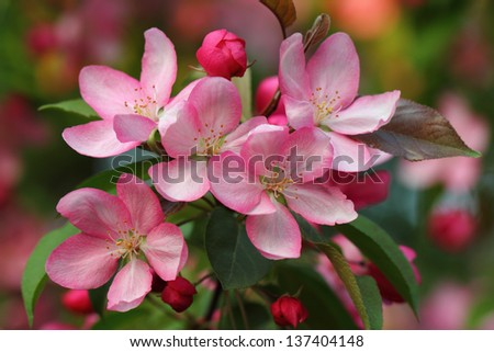 Pink apple blossoms closeup over natural background - stock photo