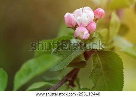 pink apple flower and buds blooming - stock photo