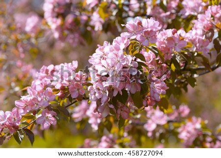 Pink Apple Flowers. Beautiful flowering apple trees. Background with blooming flowers in spring day. - stock photo