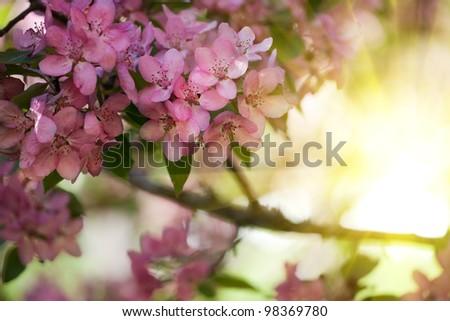 pink apple tree flowers on light background - stock photo