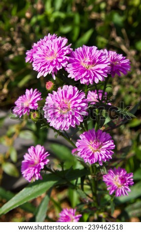 pink aster flower - stock photo