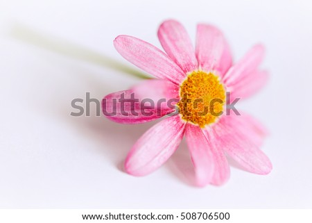 Pink Aster flower fades into a bright white background