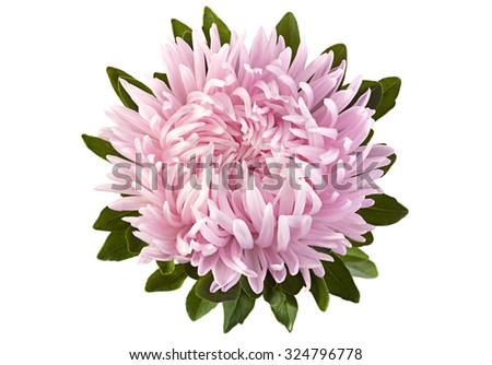 Pink aster flower head closeup isolated on white background - stock photo