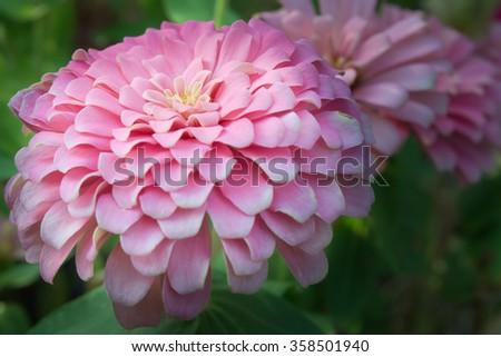 Pink Aster flower (Science name Callistephus chinensis, family name Compositae) in Rama 9 (local name) national garden, Bangkok Thailand - stock photo
