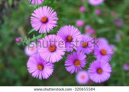 pink aster flowers in autumn - stock photo