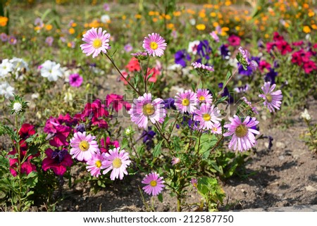 Pink asters blooming in the garden - stock photo