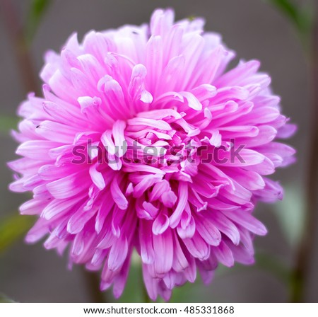 yellow aster flower stock images, royaltyfree images  vectors, Natural flower
