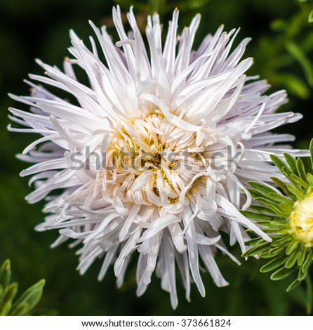 Pink asters in the garden closeup - stock photo