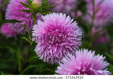 Pink asters in the park - stock photo