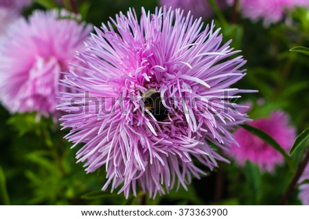 Pink asters in the park and bumblebee - stock photo