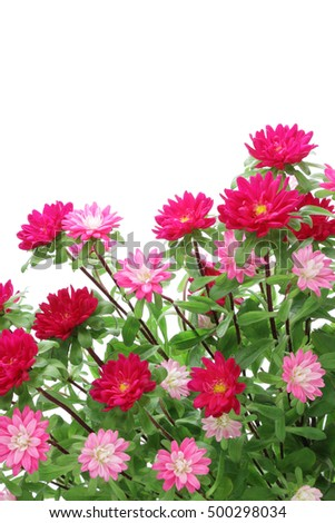 Pink asters isolated on white background