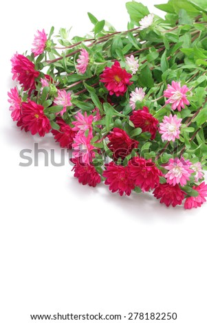 Pink asters on white background  - stock photo