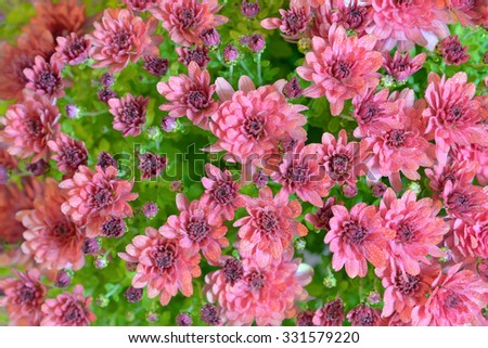 pink autumnal chrysanthemum and dew drops