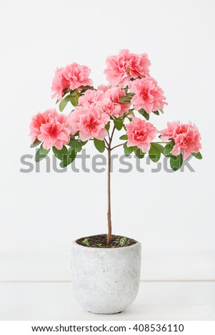 Pink azalea flower in a concrete pot