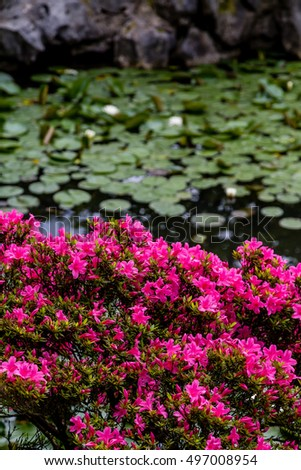 Pink azaleas and lily pads on lake