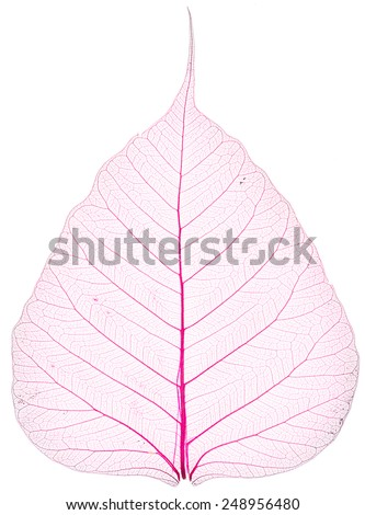 pink background of old and dry Pho leaf detail texture on white background - stock photo